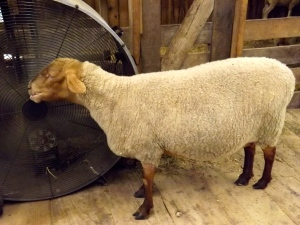 This sheep loves her barn fan