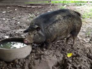 This muddy pig shouldn't be so cute.