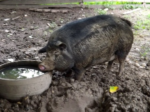 This muddy pig shouldn't be so cute.
