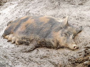 This is one content, smelly sow