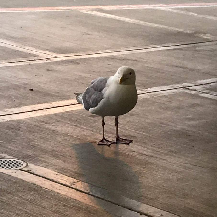Seagulls, the jerks of the ornithology world, and my favorite bird.